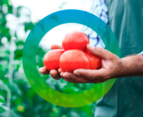 farmer holding organically grown red tomatoes as a symbol for sustainable agriculture and healthy diet. fors logo surrounds those hands.
